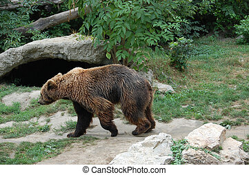 Bear - Brown Bear attractions in the zoo