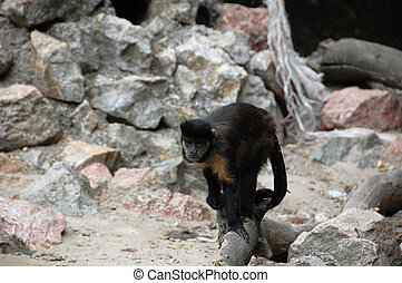 Monkey - The cute monkeys photographed in the zoo Palic,...