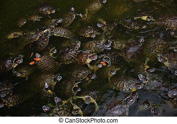 Turtles gather before feeding in the zoo Palic, Subotica,...