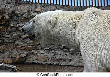 Polar bear - The polar bear waits to be fed at the zoo...