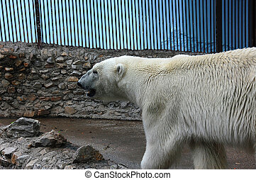 Polar bear - The polar bear waits to be fed at the zoo...