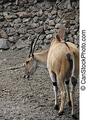 Antelope Eland - One common eland Taurotragus...