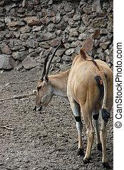 Antelope Eland - One common eland Taurotragus...