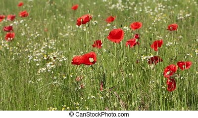 Summer meadow with red poppies - The two intertwined footage...