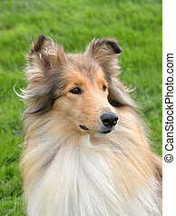 The portrait of Shetland Sheepdog on a green grass lawn -...