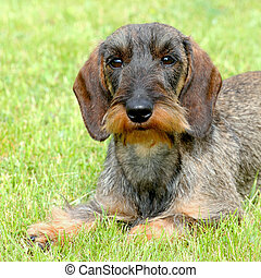 The portrait of Dachshund Wire-haired dog in the garden