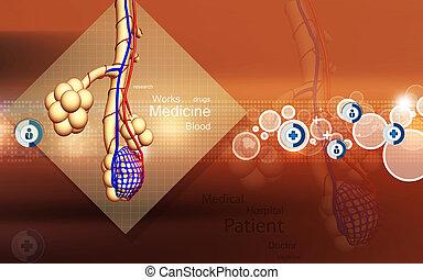 Alveoli, ,