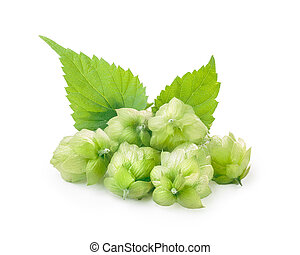 Hops humulus - Fresh hops flowers of Humulus lupulus with...