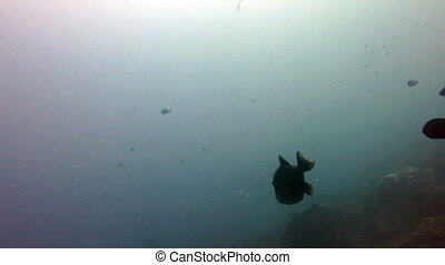 Fish Triggerfish attacking divers in Bali