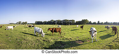 cows grazing at the meadow with green fresh grass