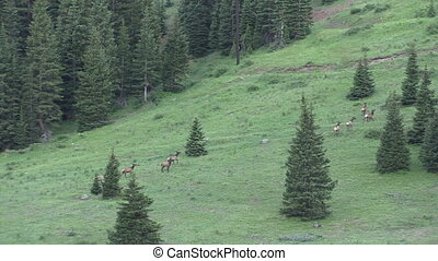 Elk Herd - a herd of elk moving across a mountainside
