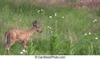 Whitetail Deer Doe - a whitetail deer doe in a field