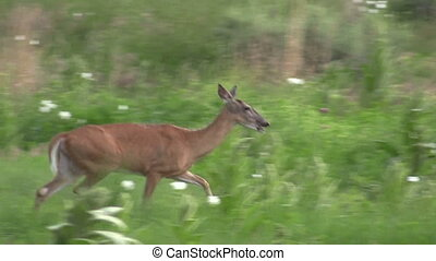 Whitetail Deer Doe Running - a whitetail doe running through...