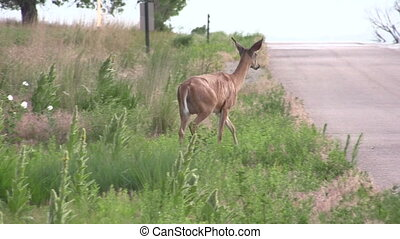 Whitetail Doe Crossing Road - a whitetail deer doe crossing...