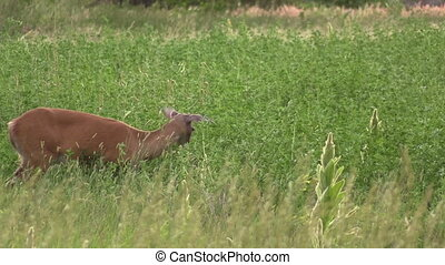 Whitetail Deer Doe - a whitetail deer doe grazing in a field
