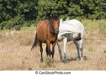 Two Friendly Horses - Two friendly horses, brown and white,...