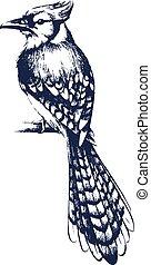 Jay bird sketch
