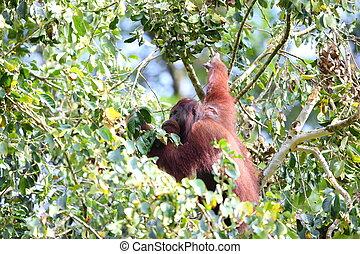 Bornean orangutan (Pongo pygmaeus) in Borneo
