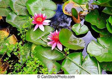 Water lillies in Mission Station park near Stone House in KeriKeri  during summer.