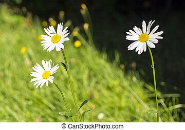 Camomiles - Three white camomiles in grass