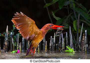 Ruddy Kingfisher Catching - Ruddy Kingfisher catching...