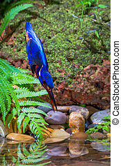 Blue-eared Kingfisher Diving