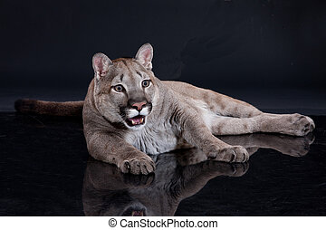 Puma - Young wild puma on isolated black studio background