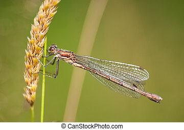 Damselfly : Enallagma cyathigerum