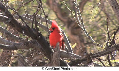 Cardinal Perched On Branch - Cardinal perched on branch