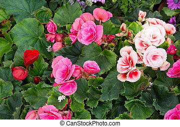 Tuberous begonias of different flowers close up