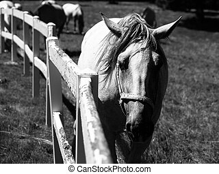 Portrait of Lipizzaner stallion - Portrait of white...