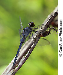Uphill dragonfly - Blue dragonfly that is looking uphill on...