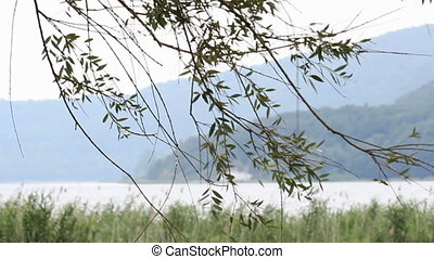 willow leaves - weeping willow leaves in the wind