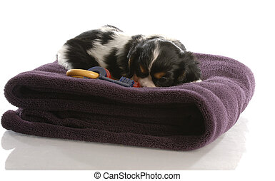 cavalier king charles puppy playing on purple blanket - six weeks old