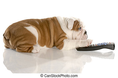 dog with remote control - english bulldog nine weeks old
