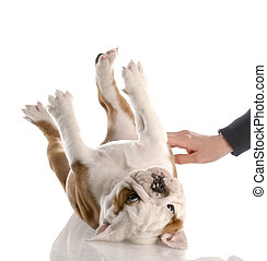english bulldog puppy getting a tummy rub