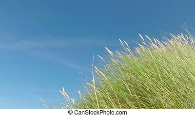 Dune Grass Moving - Slow Motion - Dune grass moving in the...