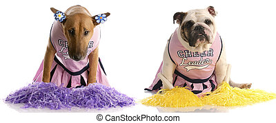 cheerleading squad - bull terrier and english bulldog...