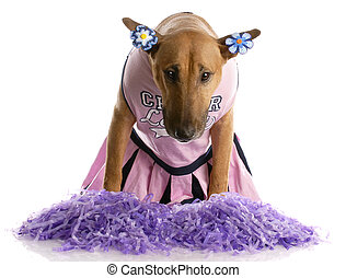 bull terrier dressed up as a cheerleader on white background...