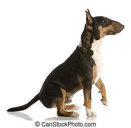 tri-color bull terrier sitting ready to shake a paw