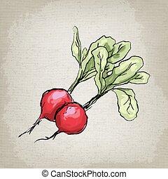 Fresh radishes. Vector illustration.