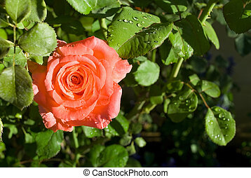 Peach Rose Close-up - A close-up photo of a peach colored...