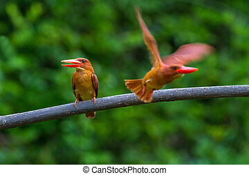 Ruddy Kingfisher - Double Ruddy Kingfisher on perch and...