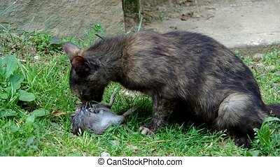 Black cat and rat, the cat eats the rat
