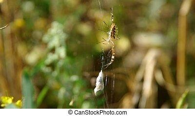 Wasp spider argiope bruennichi and his catch