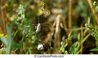 Wasp spider argiope bruennichi and his catch