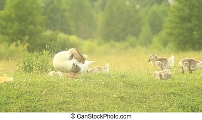 young goslings with paterns on the grass in the village