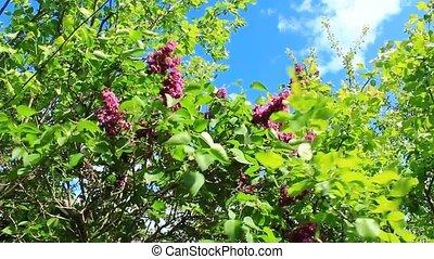 big bush of lilac - nice and big bush of beautiful spring...