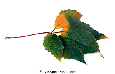 Multicolor virginia creeper leaf Parthenocissus quinquefolia...
