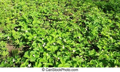 Flowering of a strawberry - bed with flowering of bushes of...
